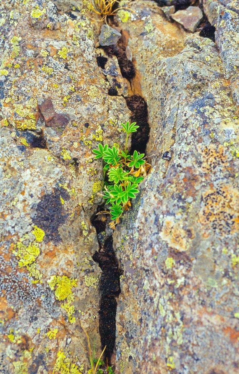 Alpen-Frauenmantel wächst in einer Felsspalte