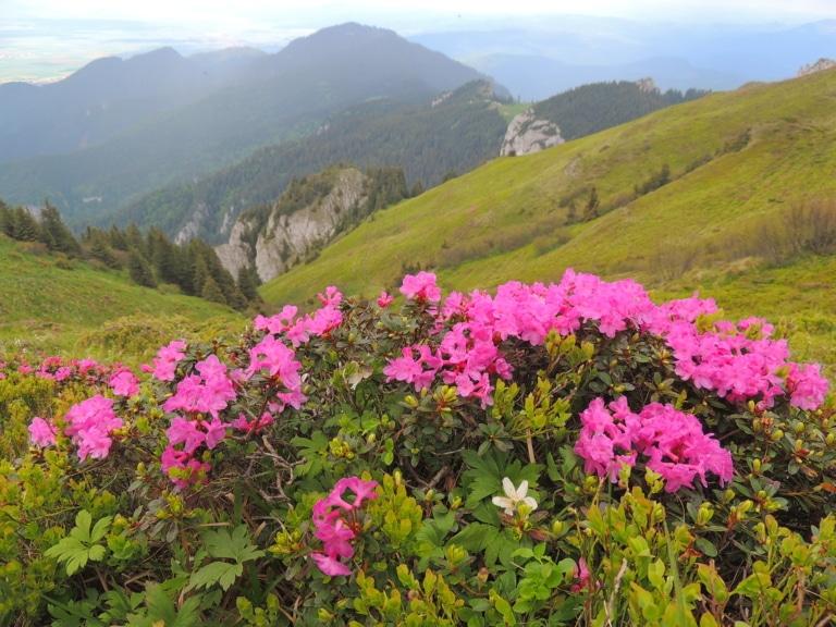Almrose blüht in Oberlech am Arlberg