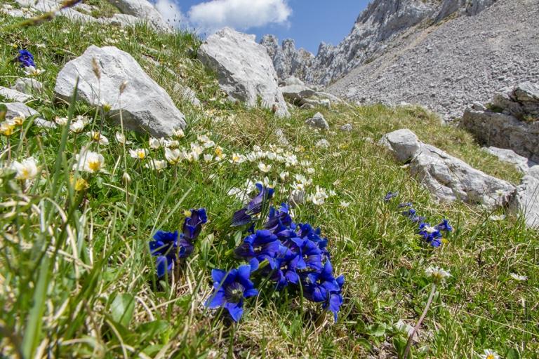 Blauer Enzian in den Lecher Bergen